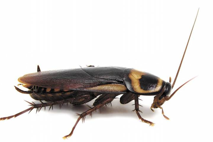 Гадание на таракане.